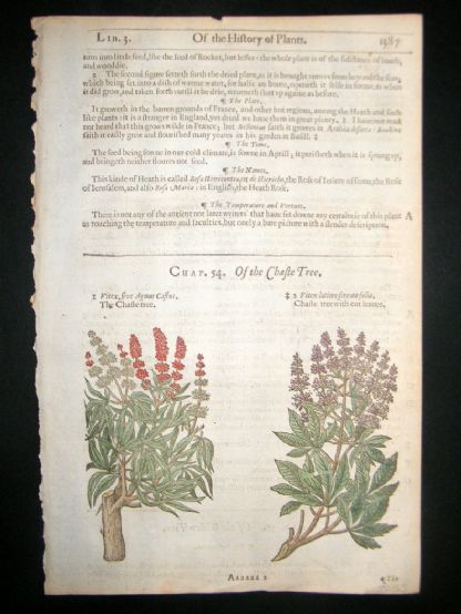 Gerards Herbal 1633 Hand Col Botanical Print. Chaste Tree | Albion Prints